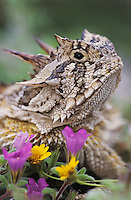 Texas Horned Lizard, Phrynosoma cornutum, adult with flowers, Lake Corpus Christi, Texas, USA, April 2003