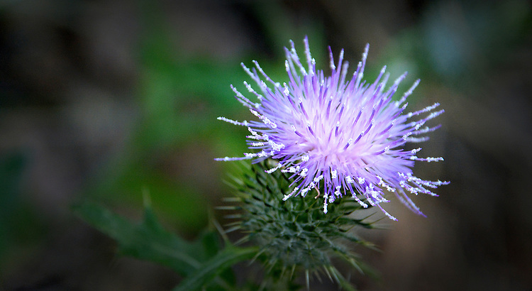 Thistle on Bootjack Trail - Mt. Tamalpais
