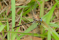 334060001 a wild female oklahoma clubtail gomphus oklahomensis perches on wild grass stems in the sam houston national forest in san jacinto county in east texas