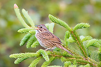Lincoln's sparrow, Melopiza lincolnii, male, perched on evergreen and singing, in spring time, Nova Scotia, Canada
