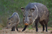 650520323 wild javelinas or collared peccaries dicolytes tajacu forage near a waterhole on santa clara ranch in starr county rio grande valley texas united states
