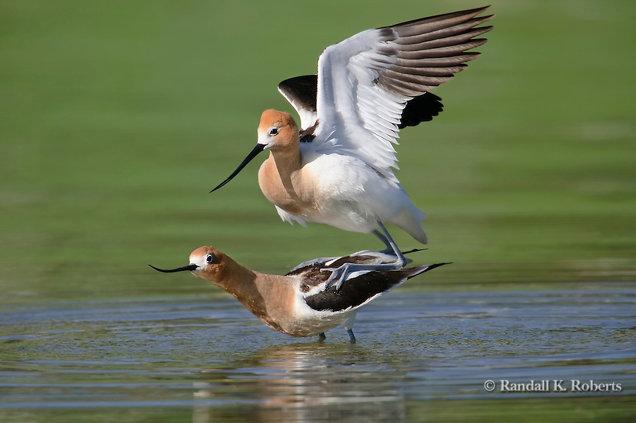American Avocets (Recurvirostra americana) mate in a shallow pond in Adams County, Colorado