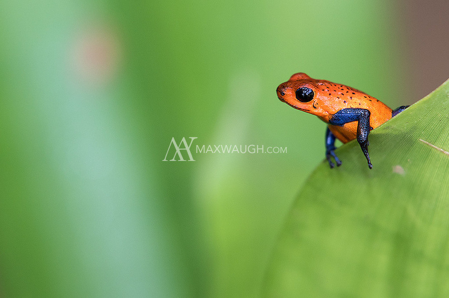 Strawberry poison dart frogs are also known as Blue Jeans frogs.  I'll let you guess why.