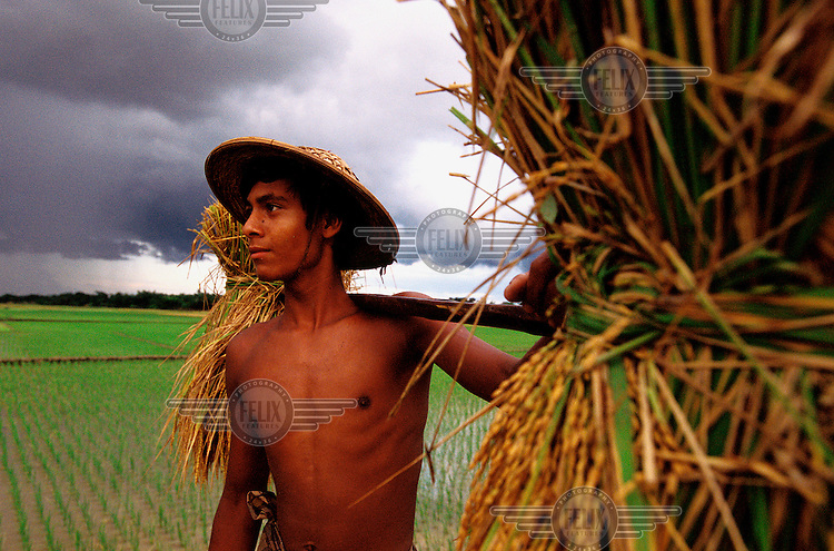 Young farmer, carrying bundles of rice across a newly planted rice paddy field, watches the gathering clouds of a rainy-season downpour in the distance. Though sometimes damaging, the summer typhoons are essential for the maintenance of the rice crop, especially when considering it takes an average of 5,000 litres of water to produce 1 kg of irrigated rice.