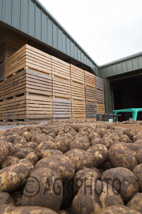 Potatoes stacked in boxes <br /> Picture Tim Scrivener 07850 303986<br /> &hellip;.covering agriculture in the UK&hellip;.
