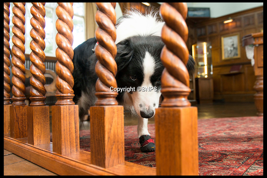 BNPS.co.uk (01202 558833)<br /> Pic: LauraDale/BNPS<br /> <br /> Meg sniffing out dry rot.  At Bantock House Museum.<br /> <br /> New tricks for old dog breeds...<br /> <br /> Enterprising Mark Doggett has come up with a new business idea that's not to be sniffed at...A team of crack pooches that use thier noses to find dry rot in old houses.<br /> <br /> And he now has plans to train the cunning canines to hunt out bed bugs for hotel chains as well.<br /> <br /> Sniffer dogs have been trained to detect the destructive fungi early and in areas humans can't access, meaning they could save people thousands of pounds of expensive damage.<br /> <br /> There are even plans to train the dogs to detect bed bugs, which could prove a huge help to hotels, hospitals and boarding schools.<br /> <br /> Mark Doggett, 30, started his business Enviro-dogs last year and it is the only company in the country people can hire to check properties for dry rot.