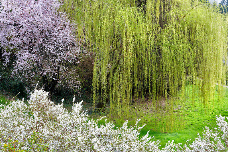 Cherry trees and weeping willow at Portland Rose Gardens. Portland. Oregon