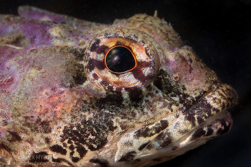 Sea Scorpion / Bullfish {Taurulus bubalis}. Isle of Skye, Inner Hebrides, Scotland, UK. March.