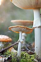 Fly agaric mushrooms at the National Park Sallandse Heuvelrug, Netherlands.