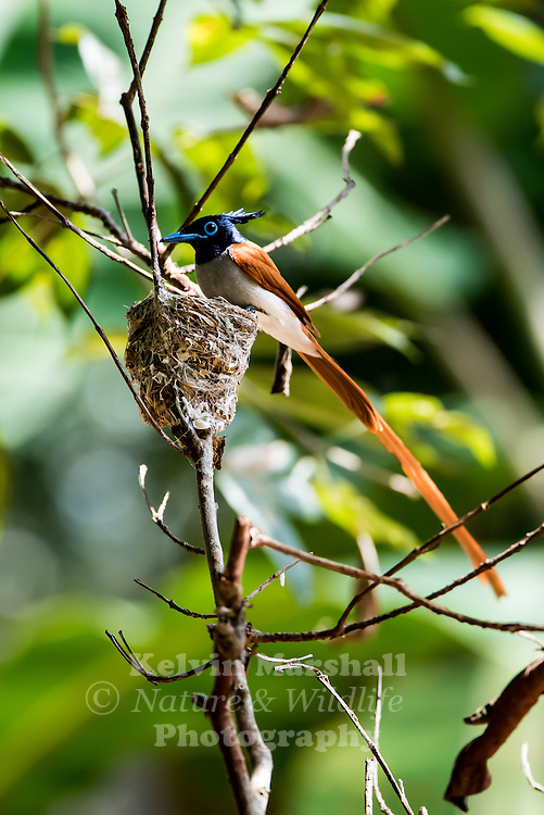 Male Indian paradise flycatcher (Terpsiphone paradisi), is a medium-sized passerine bird native to Asia that is widely distributed. Habarana - Sri Lanka.