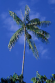 Juruena, Brazil. Palm tree with blue sky behind.