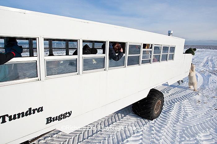 01874-12017 Polar Bear (Ursus maritimus) near Tundra Buggy in Churchill Wildlife Management Area, Churchill, MB Canada