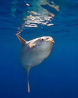 ocean sunfish, Mola mola, off San Diego, California, East Paficic Ocean