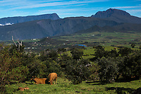 France, île de la Réunion, troupeau de vaches sur les pentes du volcan du Piton de la Fournaise, la Plaine des Cafres et l'ancien volcan du Piton des Neiges en arrière plan // France, Ile de la Reunion (French overseas department), herd of cows on the foot of the slopes of the volcano Piton de la Fournaise, the Plaine des Cafres and former Piton des Neiges volcano in the background