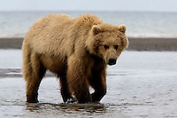 This sub-adult brown bear (Ursus arctos middendorffi) is waiting for the tide to go out so that he/she can look for clams. An early summers delicacy.<br />
