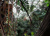 Tropical Rainforest Glasshouse (formerly Le Jardin d'Hiver or Winter Gardens), 1936, Ren» Berger, Jardin des Plantes, Museum National d'Histoire Naturelle, Paris, France. Low angle view of the luxuriant Tropical vegetation beneath the glass and metal roof stucture of the Art Deco style glasshouse from the cave.