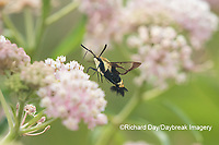 04005-00406 Snowberry Clearwing (Hemaris diffinis) on Swamp Milkweed (Asclepias incarnata) Marion Co. IL