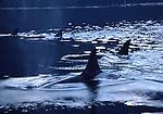 pod of orcas in Johnstone Strait