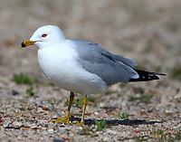 Adult ring-billed gull in breeding plumage
