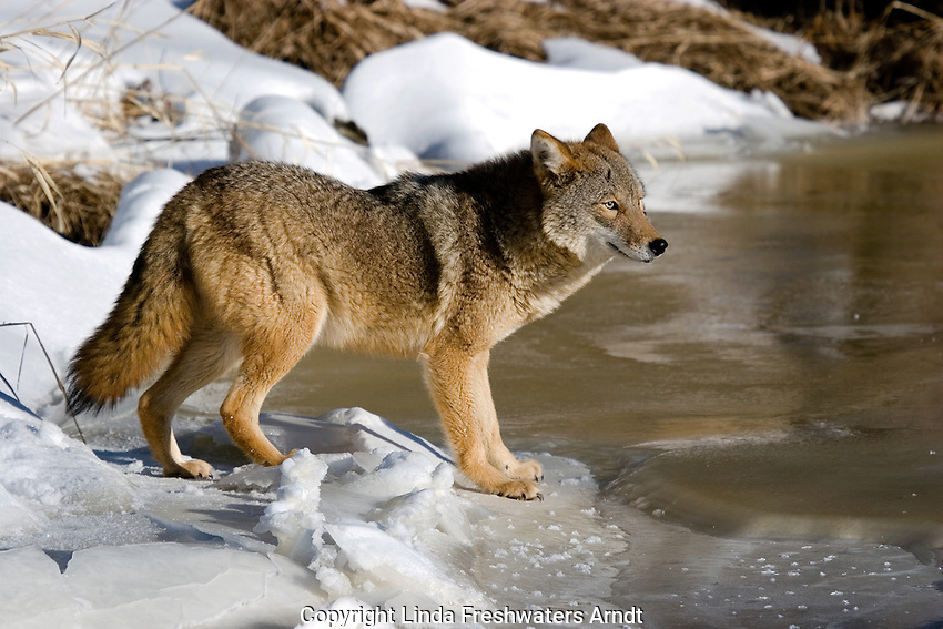 Coyote (Canis latrans) standing at the edge of a frozen river.  Minnesota.