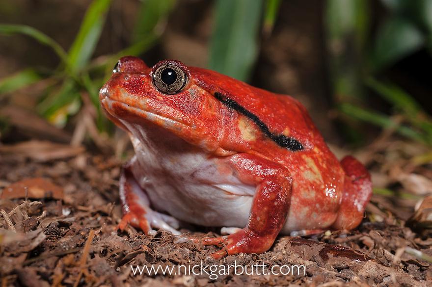 Tomato Frog (Dyscophis antongilii) in marsh habitat. Near Maroantsetra, north east Madagascar.