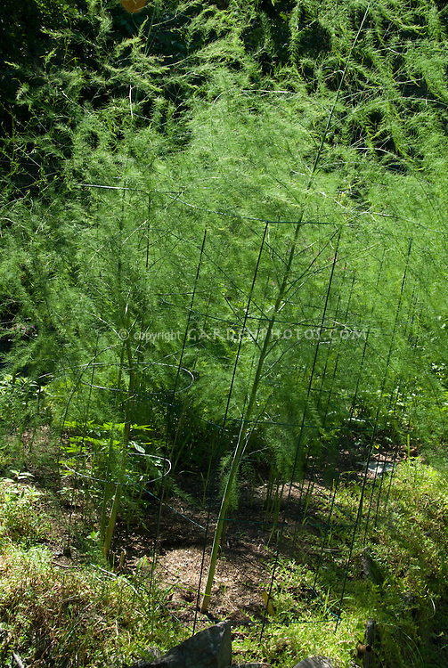 Asparagus plants growing, vegetable plant showing stems and foliage leaves, staked in cages upright