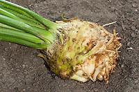 Sellerie, Echter Sellerie, Knollensellerie, Wurzelsellerie, Apium graveolens var. rapaceum, Apium graveolens, Celery, Celeriac, turnip-rooted celery, knob celery