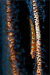 Large whip goby: Bryaninops amplus, on ornage and blue whip coral, Tulamben, Bali
