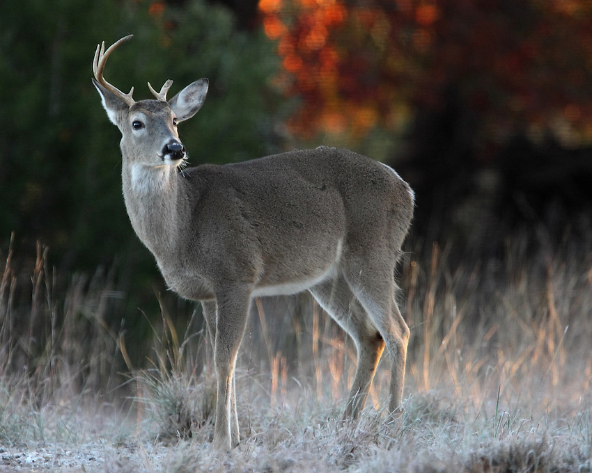 White-tailed Buck (Odocoileus virginianus) in winter.