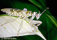 "0223-07nn  Spiny Flower Mantis (#9 Mantis) - Pseudocreobotra wahlbergii ""Female"" - © David Kuhn/Dwight Kuhn Photography"
