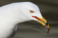Gull - Ring-Billed