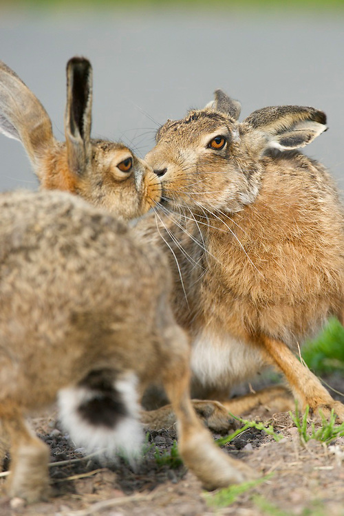 Pair of Brown hare's kissing in a cemetery
