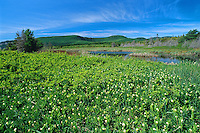 Wild lily of the valley (Maianthemum canadense)<br /> Forillion National Park<br /> Quebec<br /> Canada