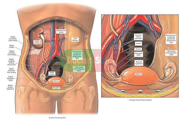 Anatomy Of The Female Pelvis Doctor Stock