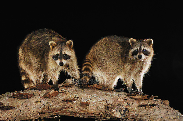 Northern Raccoon (Procyon lotor), adults on log, Fennessey Ranch, Refugio, Coastal Bend, Texas Coast, USA