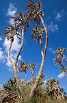 Israel, Arava. Palm Doum trees in Ein Evrona<br />