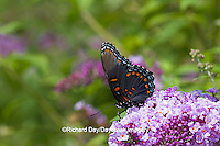 03418-01001 Red-spotted Purple butterfly (Limenitis arthemis) on Butterfly Bush (Buddleia davidii) Marion Co., IL