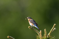 Eastern bluebird - female