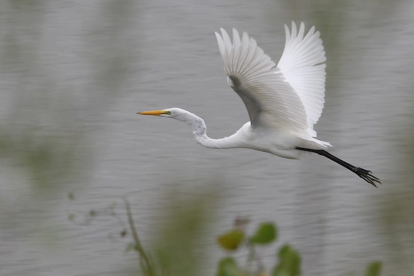 A large white heron, the Great Egret is found across much of the world, from southern Canada southward to Argentina, and in Europe, Africa, Asia, and Australia.