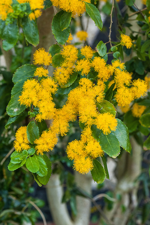 Saw-toothed azara (Azara serrata 'Andes Gold'), mid May.  An evergreen shrub with glossy, oval, serrated leaves and dense clusters of fragrant deep yellow flowers in summer, occasionally followed by white berries. Native to Chile.