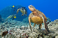 green sea turtles, Chelonia mydas, endangered species, being cleaned by yellow tangs, Zebrasoma flavescens, and gold-ring surgeonfish, Ctenochaetus strigosus, Kona Coast, Big Island, Hawaii, USA, Pacific Ocean