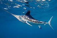 white marlin, Kajikia albida, off Yucatan Peninsula, Mexico, Caribbean Sea, Atlantic