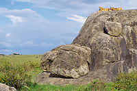 African Lions pride resting on rock outcropping (Kopje), Serengeti National Park. Tanzania.  Lions like to rest on kopjes as it gives them a commanding view across the grasslands of possible prey and any potential threats.
