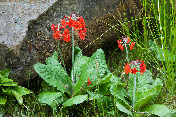 Primula 'Inverewe', mid May. The Laurent-Perrier Chatsworth Garden designed by Dan Perarson, RHS Chelsea Flower Show 2015.