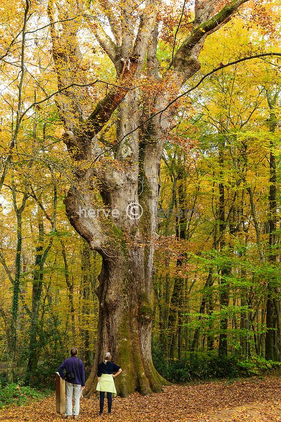 France, Allier (03), forêt de Tronçais, Saint-Bonnet-Tronçais, chêne sessile remarquable La Sentinelle daté de 1580, actuellement le plus gros arbre de la forêt // France, Allier, Tronçais forest, Saint Bonnet Troncais, remarkable oak the Sentinelle dated 1580