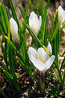Alpine White Crocus meadow flower - (Crocus Albiflorus) - Grindelwald Switzerland