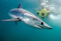 Shortfin Mako Shark (Isurus oxyrinchus). San Diego, California, USA, eastern Pacific Ocean.