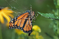 Monarch butterfly (Danaus plexippus) trapped in garden spider's web. North America.