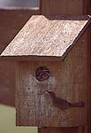 3812-FV Winter Wren, Troglodytes troglodytes, carrying twig to wren house at the Minnesota Landscape Arboretum