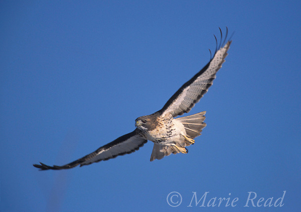 Red-tailed Hawk (Buteo jamaicensis) in flight, Iew York, USA<br /> Slide # B27-501